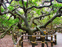 Largest cashew tree in the world - Stock image Royalty Free Stock Photography