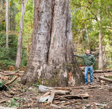 The largest eucalyptus in Galicia, Spain Royalty Free Stock Image