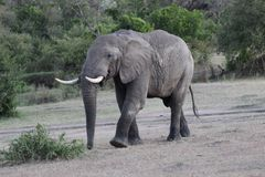 Elephant walking on grassfields in the savanna stock photography