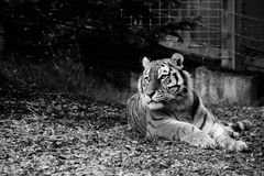 Tiger Amur looking at the right side in a zoo Black and white. The largest in length and the heaviest of all cats, Amur tigers also have the thickest fur to Stock Photos