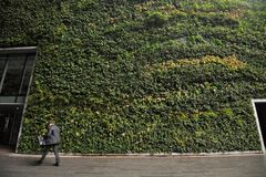 The largest living wall in London in Fenchurch Street living wall contains around 52,000 plants. A living wall uses technology which allows plants to grow stock photo