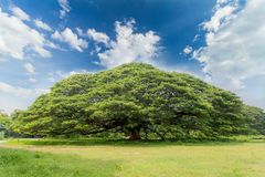 The largest monkey pod tree on the blue sky. The largest monkey pod tree, Giant tree branches covered big area Royalty Free Stock Photography