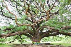 Largest Monkey Pod Tree Stock Photo