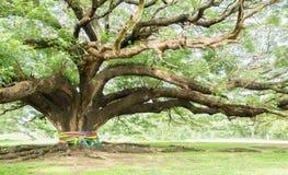 Largest Monkey Pod Tree on white sky Royalty Free Stock Images
