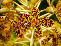 Largest orchid in the world. Scientific name: Grammatophyllum specinocum BL Royalty Free Stock Photos
