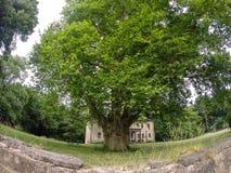 Largest Platane tree of Europe Stock Image