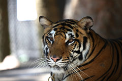 Largest representative of the family cat - a tiger, Thailand. Southeast Asia stock images