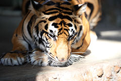 Largest representative of the family cat - a tiger, Thailand. Southeast Asia royalty free stock image