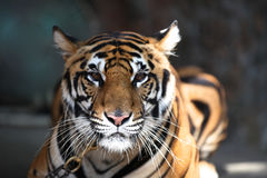 Largest representative of the family cat - a tiger, Thailand. Southeast Asia royalty free stock photography