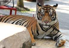 Largest representative of the family cat - a tiger, Thailand. Southeast Asia stock photo