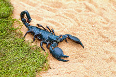 The largest scorpion in the world - Pandinus imperator Stock Photo