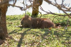 Huge capybara bathing in the sun by the water. Largest south american rodent capybara catching a break under the shade of a tree Royalty Free Stock Image