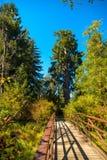 Largest spruce Stock Image