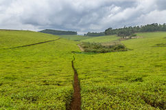 Largest tea plantation of Cameroon, Africa with paths leading through on overcast day Royalty Free Stock Photo