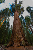 Largest Tree on Earth General Sherman Royalty Free Stock Photography