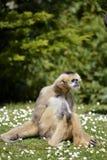 Largibbon, der auf Gras sitzt Stockfoto