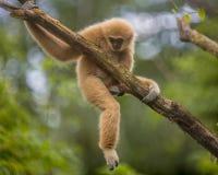 Largibbon, der auf Niederlassung in der natürlichen Umwelt klettert Lizenzfreies Stockfoto