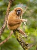 Largibbon, der Banane auf Niederlassung im Regenwalddschungel isst Lizenzfreie Stockbilder