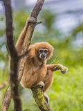 Largibbon hockte auf Niederlassung im Regenwalddschungel Lizenzfreies Stockfoto