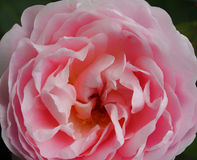 Largke romantic pink rose Stock Photography