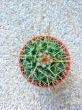 largo-espina dorsal del cactus de la Redondo-forma en pote plástico anaranjado Fotos de archivo
