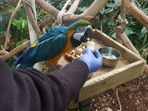Blue and Gold macaw feeding. Larhe parrot eatingbanana out of the habds of its keeper Stock Images