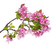Larhe pink apple-tree blossoming branch Stock Photos