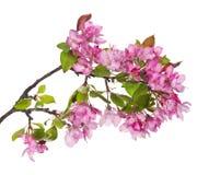Larhe rosa Apple-träd som blomstrar filialen Arkivfoton