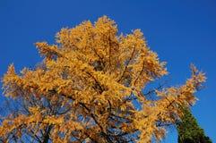 Larice in autunno Fotografia Stock
