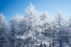 Larice di Snowy fotografia stock libera da diritti