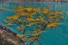 Larice giallo contro lo sfondo dell'acqua del turchese del lago Immagini Stock