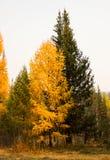 Larice giallo di autunno Immagini Stock Libere da Diritti