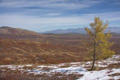 Larice in montagne nella caduta Fotografia Stock Libera da Diritti