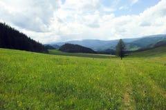 Larice su un prato della montagna immagine stock libera da diritti