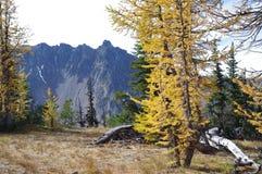 Larici alpini Fotografia Stock