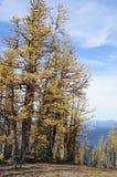 Larici alpini Fotografia Stock Libera da Diritti