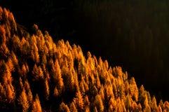 Larici in autunno Immagine Stock Libera da Diritti