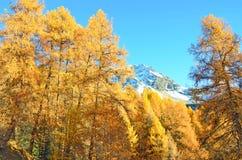 Larici della montagna nella caduta Fotografie Stock