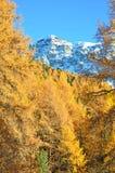 Larici della montagna nella caduta Immagini Stock Libere da Diritti