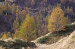 Larici di autunno nelle alpi Fotografia Stock