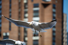 Laridade Seagull Royalty Free Stock Photo