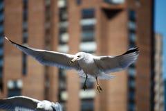 laridade seagull Στοκ φωτογραφία με δικαίωμα ελεύθερης χρήσης