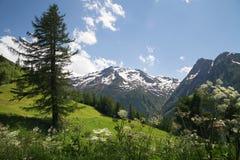 Lariks-boom op helling in Alpen Stock Foto