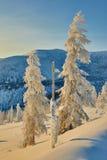 Lariks in sneeuw in bergen De winter Een daling avond kolyma Stock Afbeelding