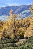 Lariksbomen in alpien bos royalty-vrije stock afbeelding
