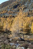 Lariksbomen in bergbos stock foto