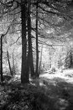 Lariksbomen in briljante zonneschijn royalty-vrije stock afbeelding