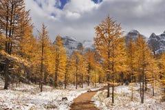 Lariksbomen in daling na eerste sneeuw, Banff NP, Canada stock foto's
