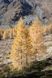 Lariksbomen in de bergen stock fotografie