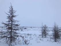 Lariksbomen in noordpoolwoestijn Royalty-vrije Stock Foto's